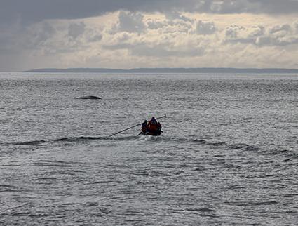 Marcado de Ballenas Azules en el sur de Chile.