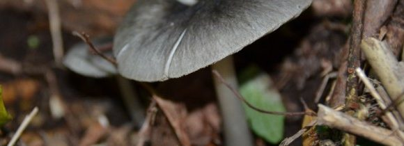Study and Identification of Mushrooms in Melimoyu