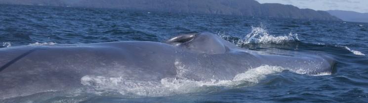 Ecología Trófica y Comportamiento de Ballenas Azules