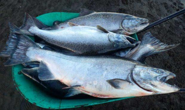 [Aqua] Monitorean la pesca de salmón chinook en La Araucanía